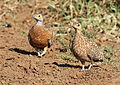 Burchell's sandgrouse, Pterocles burchelli, at Mapungubwe National Park, Limpopo, South Africa (17952186176).jpg