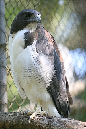 White-tailed hawk - Adult at Salvador Zoo, Ondina, Salvador, Bahia, Brazil