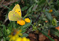 Butterfly Colias croceus - Sarı Azamet 01.jpg