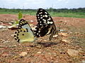 Butterfly mates.JPG