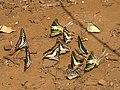 Butterfly mud-puddling at Kottiyoor Wildlife Sanctuary (18).jpg