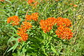 Butterfly weed (Asclepias tuberosa) 01.JPG