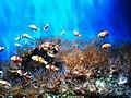 Cá hề cam bơi theo đàn.jpg