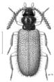 COLE Anthicidae Trichananca fulgida f.png