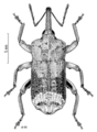 COLE Curculionidae Mecistostylus douei m.png