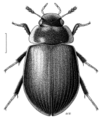 COLE Hydrophilidae Saphydrus.png