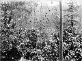 COLLECTIE TROPENMUSEUM Kleine cacaobomen onder bladerloze vruchtdragende kapok (randoe) in de Oost-Moesson TMnr 10012227.jpg