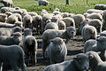 CSIRO ScienceImage 2029 A Paddock Full of Sheep.jpg