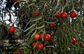CSIRO ScienceImage 2079 Fruit on the Quandong Tree.jpg