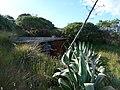 Cabane BMG, phyllicas et agave - panoramio.jpg