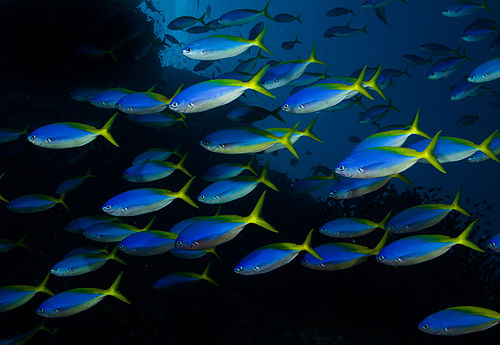 Caesio teres in Fiji by Nick Hobgood.jpg