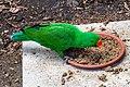 Cairns Wildlife Dome Eclectus Parrot-1 (8232090750).jpg
