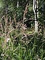 Calamagrostis phragmitoides Oulu, Finland 12.07.2013.jpg
