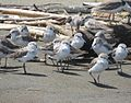 Calidris alba-- Sanderlings (28005625171).jpg