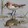 Calidris ruficollis crying.JPG