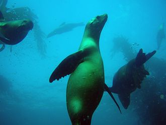 Channel Islands National Marine Sanctuary - California sea lions in the kelp forest off San Miguel Island, CINMS. Over 80,000 California sea lions live and breed in the Channel Islands. These and other marine mammals are protected by the Marine Mammal Protection Act of 1972.