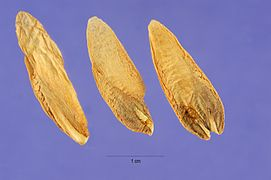 Calocedrus decurrens seeds.jpg