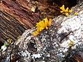 Calocera cornea - Flickr - gailhampshire.jpg