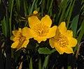 Caltha palustris 2016-04-17 7469.jpg