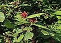 Calycanthus floridus kz04.jpg