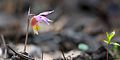 Calypso orchid at the Bruce Peninsula National Park.jpg
