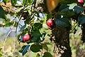 Camélia du Japon-Camellia japonica-Fruits-Monção-20140911.jpg