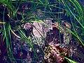 Camouflaged crab.JPG