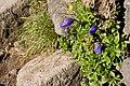 Campanula chamissonis 15.jpg