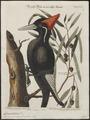 Campephilus principalis - 1700-1880 - Print - Iconographia Zoologica - Special Collections University of Amsterdam - UBA01 IZ18700119.tif