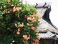 Campsis grandiflora 0895.jpg