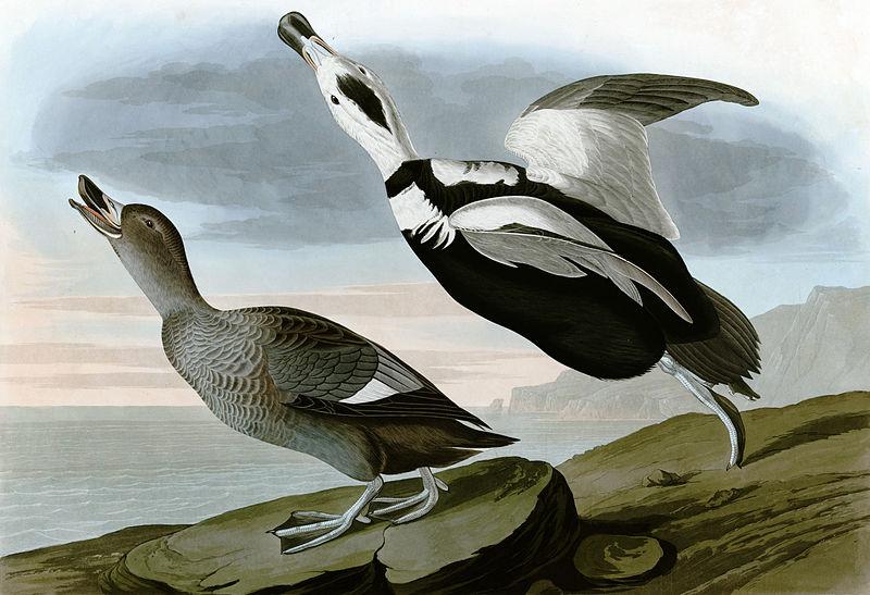 labrador duck, audobon picture public domain, extinct birds