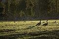 Canada geese, Firehole River (3a45d918-2bbb-49b6-9412-dae96ef58252).jpg