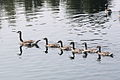 Canada goose parade.JPG