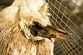 Canard-cadavre-cage-bec-ouvert.jpg