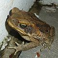 Cane Toad. Bufo marinus - Flickr - gailhampshire.jpg