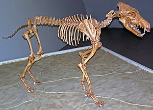 Dire wolf - Mounted skeleton, Sternberg Museum of Natural History