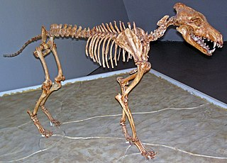 Dire wolf Extinct species of the genus Canis from North America