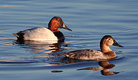 Canvasback pair2.jpg