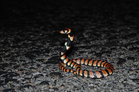 Cape Coral Snake, Aspidelaps lubricus, RsDSC 0380.jpg