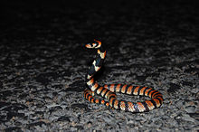 A red and black striped snake with upper body held erect