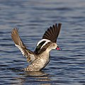 Cape Teal, Anas capensis, Marievale Nature Reserve, Gauteng, South Africa (42209808135).jpg