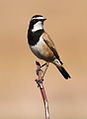 Capped Wheatear, Oenanthe pileata at Suikerbosrand Nature Reserve, Gauteng, South Africa (15179618471).jpg