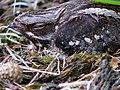 Caprimulgus europaeus no. 5.jpg