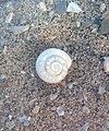 Caracol Espiral.jpg