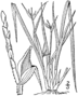 Carex jamesii drawing 1.png