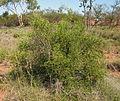 Carissa lanceolata habit.jpg