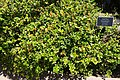 Carissa macrocarpa 'Emerald Blanket' - Naples Botanical Garden - Naples, Florida - DSC09610.jpg