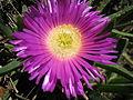 Carpobrotus rossii flower 3.jpg