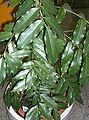 Castanospermum australe1.jpg