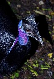 Casuarius bennetti Drwarf Cassowary Papua New Guinea by Nick Hobgood.jpg